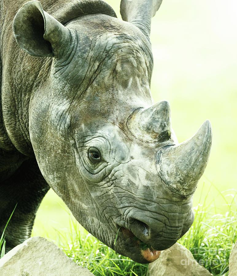 Lion Photograph - Rhino by Shaun Wilkinson