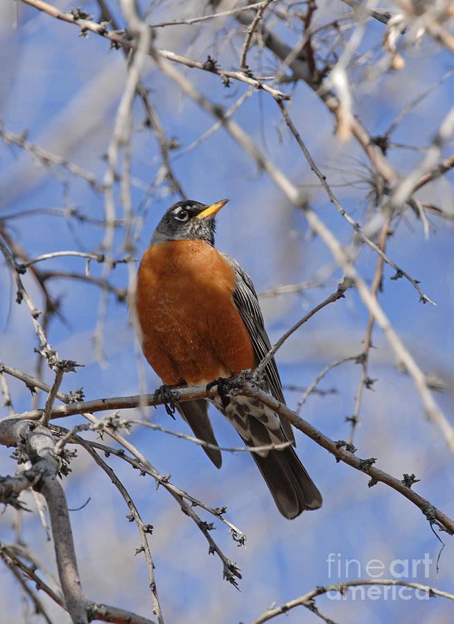 Wildlife Photograph - Robin by Dennis Hammer