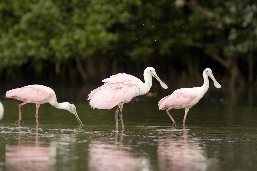 Three Animals Photograph - Roseate Spoonbills Ajaia Ajaja Feed by Tim Laman
