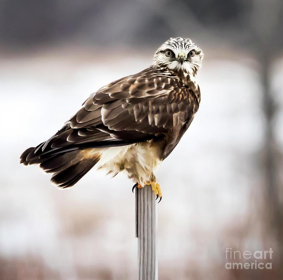 Canon Photograph - Rough-legged Hawk by Ricky L Jones