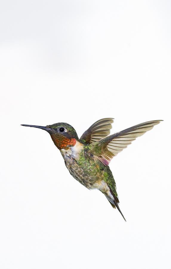 Animal Photograph - Ruby-throated Hummingbird Archilochus by Thomas Kitchin & Victoria Hurst