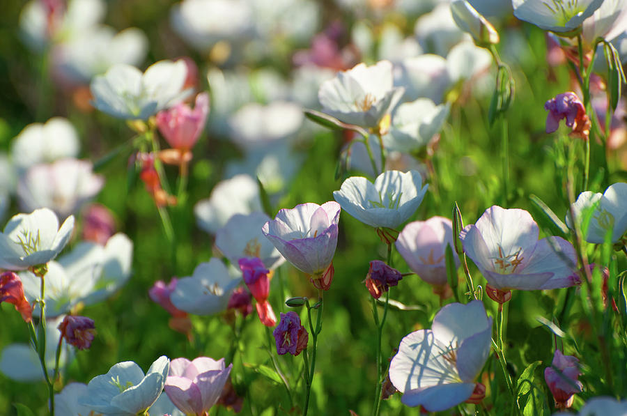 Angiosperms Photograph - Showy Evening Primrose by Rich Leighton