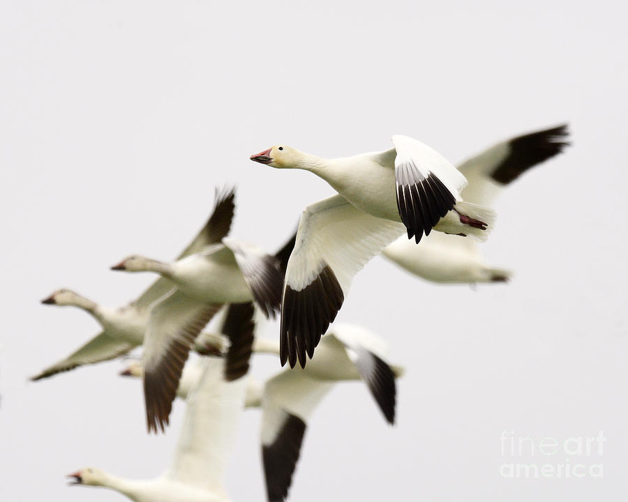 Geese Photograph - Snow Geese by Dennis Hammer