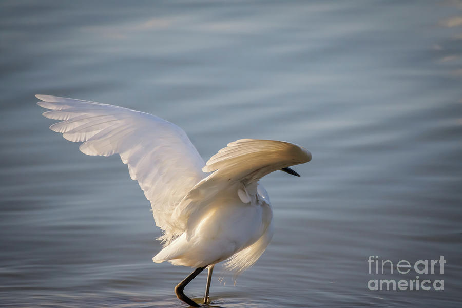 Snowy Egret by Richard Smith