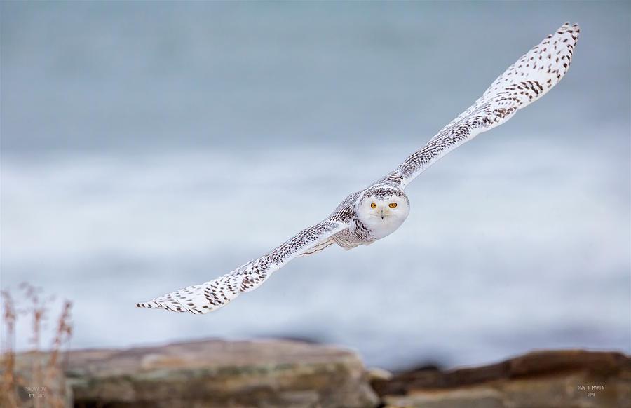 Snowy Owl by Dale J Martin