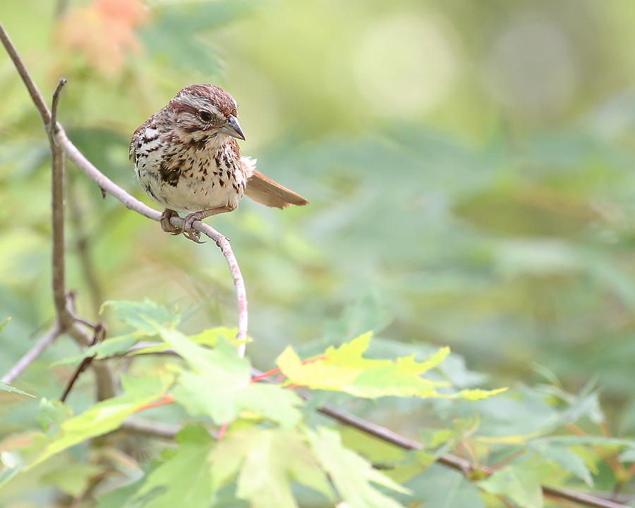 Nature Photograph - Song Sparrow by Mike Dickie