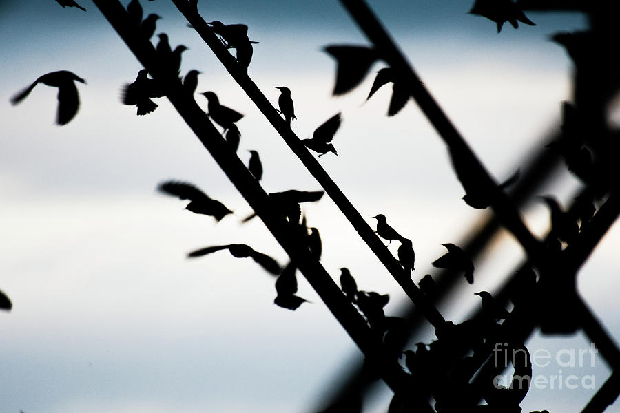 Aberystwyth Photograph - Starlings At Dusk by Keith Morris
