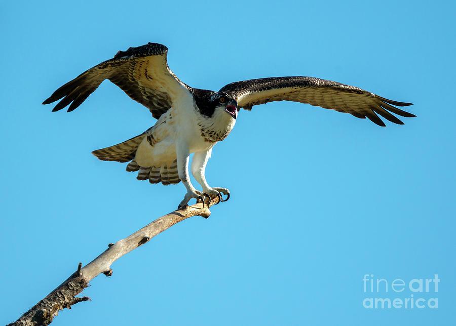 Osprey Photograph - Stay Away by Mike Dawson