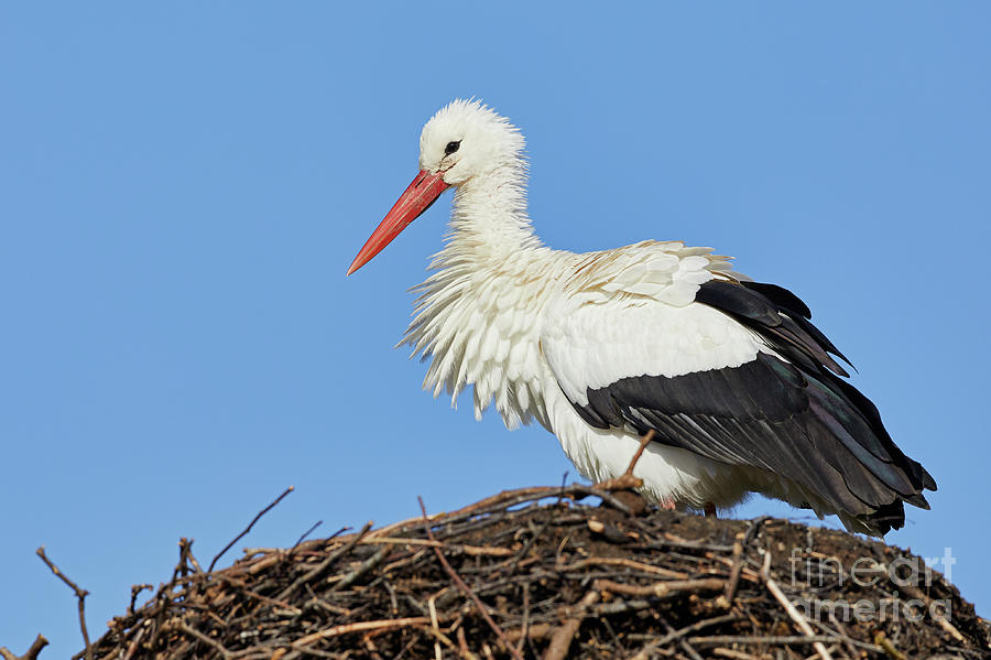 Stork on a nest by Nick Biemans