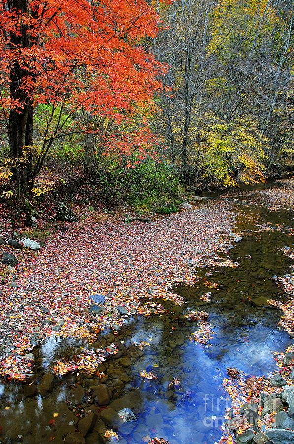 Autumn Photograph - Sugar Maple Birch River by Thomas R Fletcher