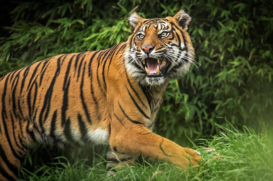 Royal Lion Beach Tote Sumatran Tiger Face 2-Sided