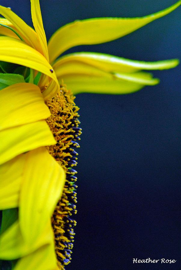 Sunflower Photograph By Heather Rose