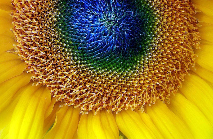Flower Photograph - Sunflower by Jessica Jenney