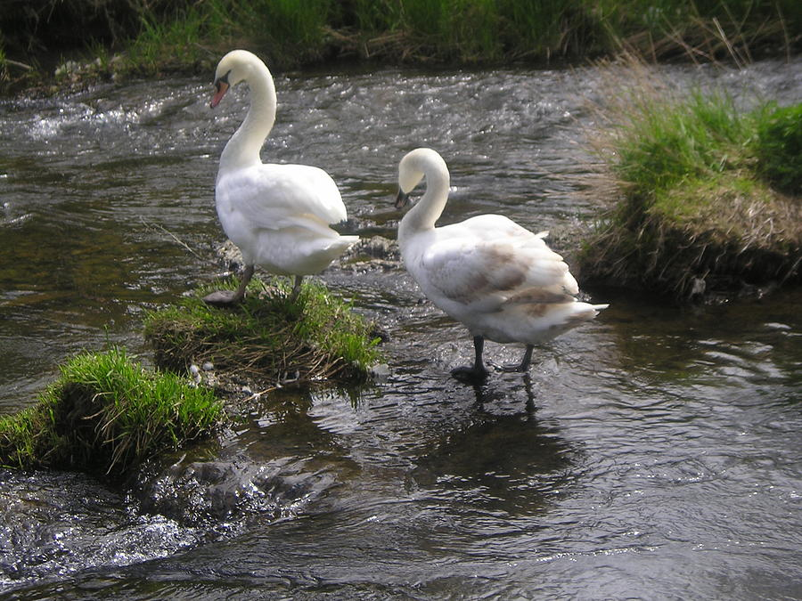 Swans Photograph - 2 Swans by Allison Prior