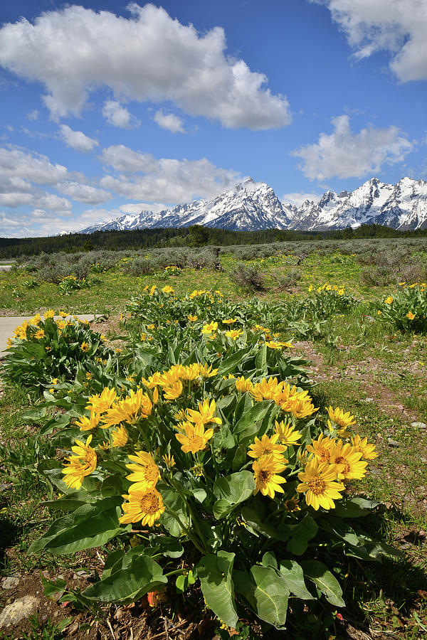 Grand Teton National Park Photograph - Teton Balsam Root by Ray Mathis