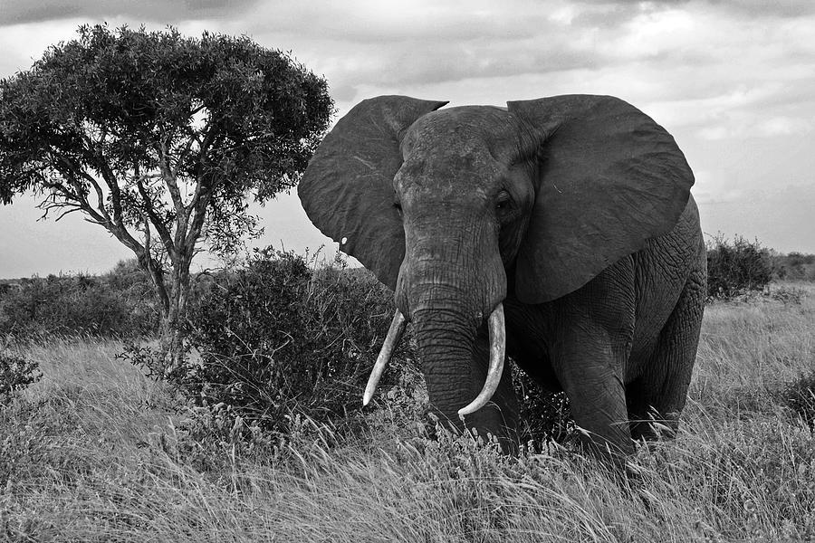 Africa Photograph - The Old Bull by Michele Burgess