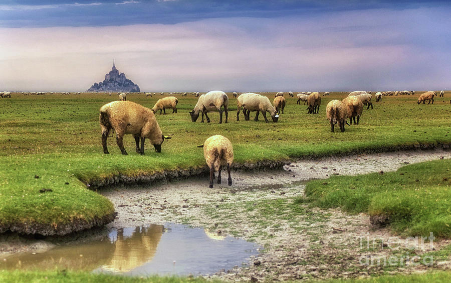 The sheep of Mont Saint Michel by Dominique Guillaume