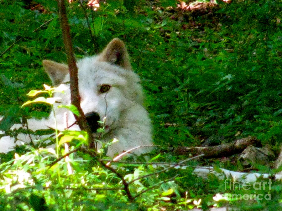 Wild Wolf Photograph - The Wild Wolve Group B by Debra     Vatalaro