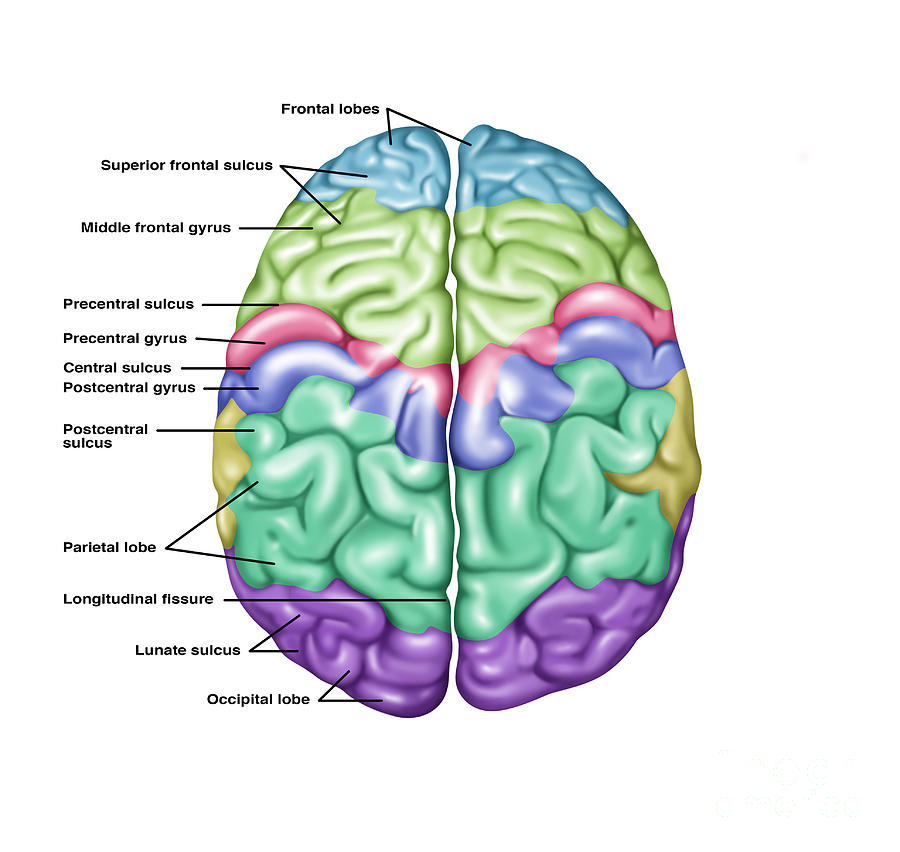 Top View Of Normal Brain, Illustration Photograph by Gwen ...