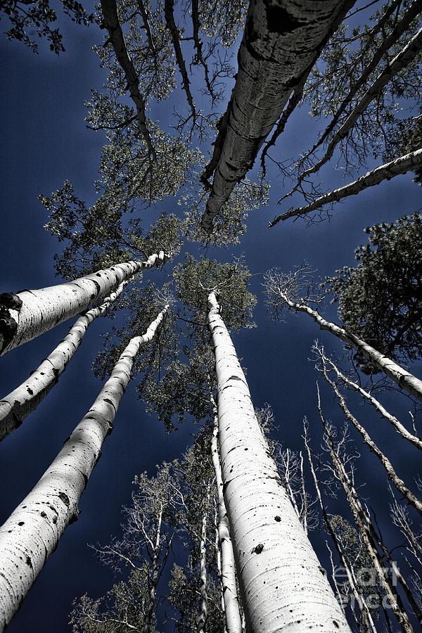 Skyward Photograph - Towering Aspens by Timothy Johnson