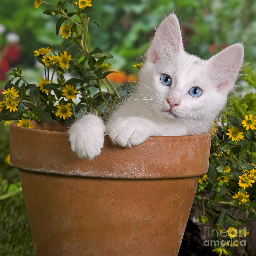 80cf1f1d14 Turkish Angora Kitten. Turkish Angora kitten in flower pot. Jean-Michel  Labat