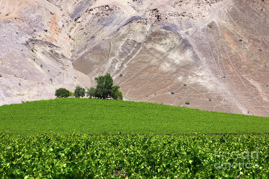 Chile Photograph - Vines Contrasting With Chiles Atacama Desert by James Brunker