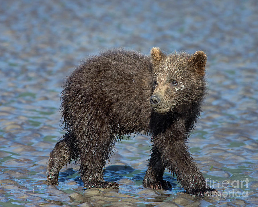 Grizzly Bear Photograph - Watching by Claudia Kuhn