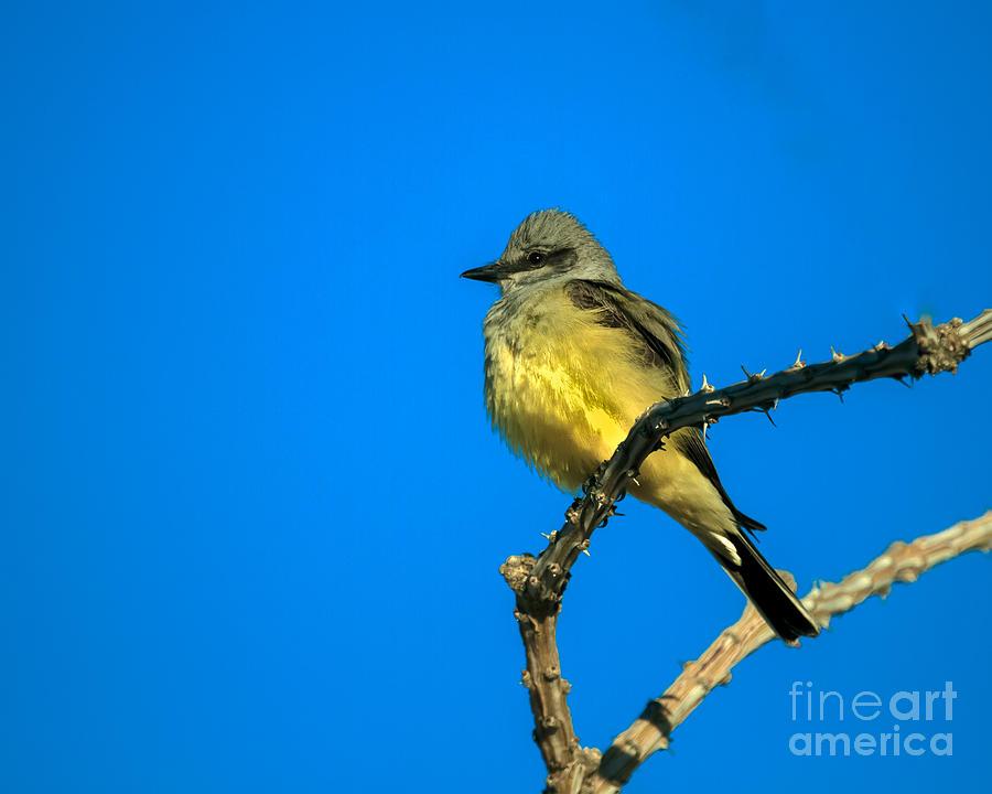 Arizona Photograph - Western Kingbird by Robert Bales