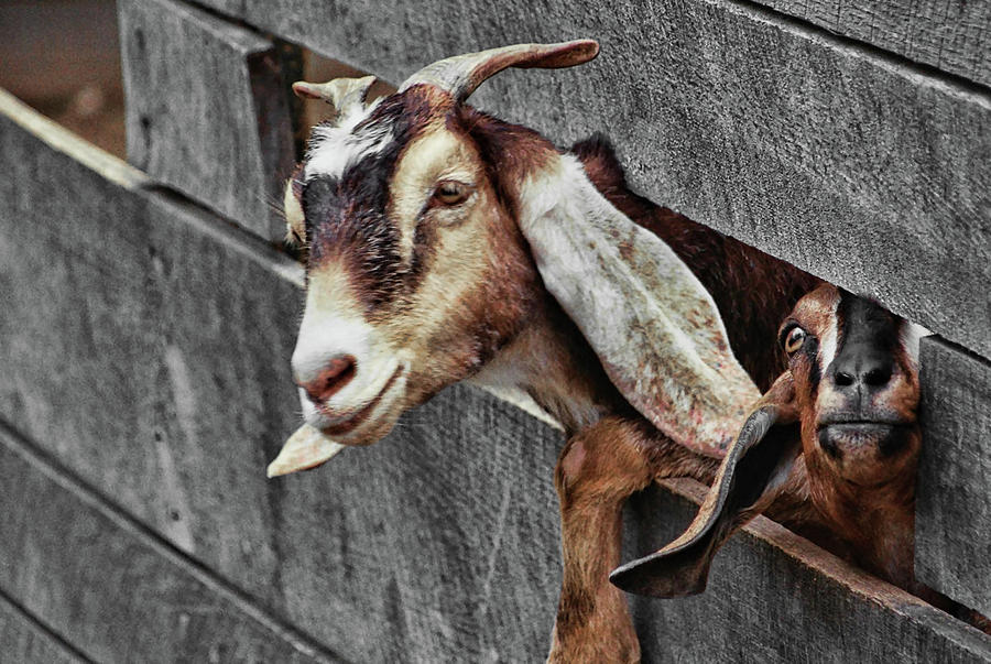 Goat Photograph - Whats Going On? by JAMART Photography