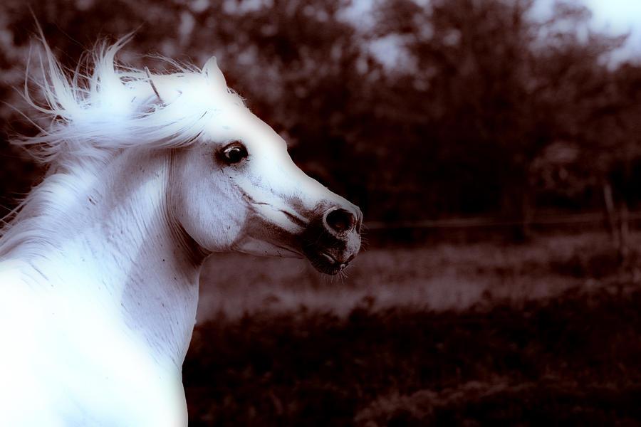 Horse Photograph - White Arabian Stallion by ELA-EquusArt