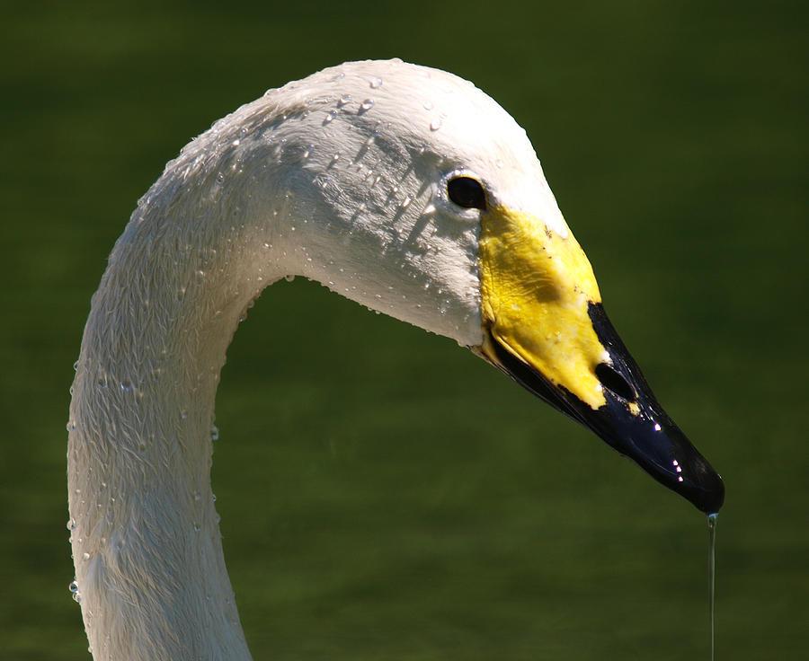 Swan Photograph - Wild Swan by Dino Mammola