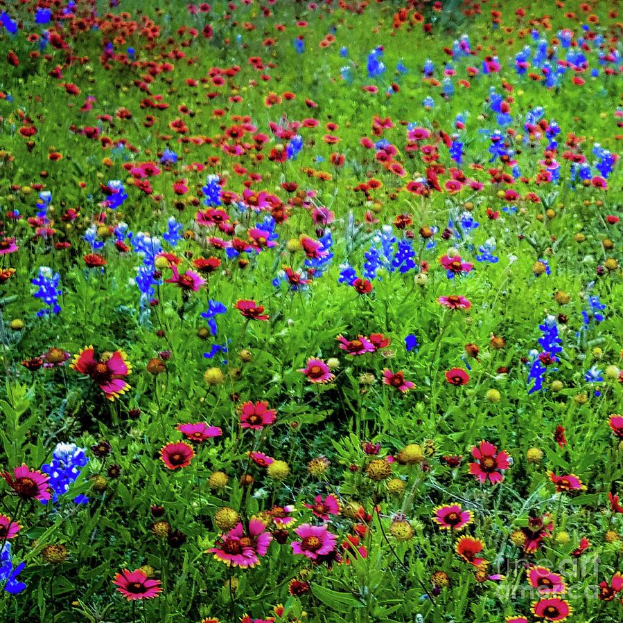 Bluebonnets Photograph - Wildflowers In Bloom by D Davila