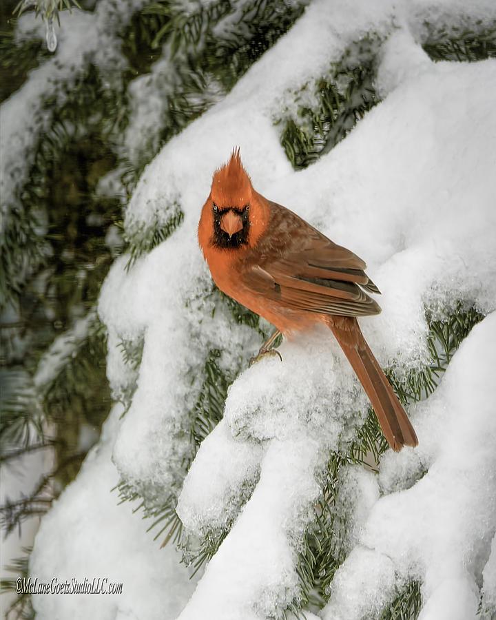 Cardinal Photograph - Winter Cardinal by LeeAnn McLaneGoetz McLaneGoetzStudioLLCcom