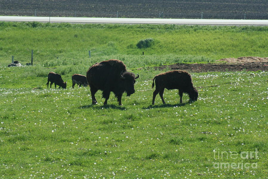 Wisconsin Photograph - Wisconsin Buffalo by Tommy Anderson