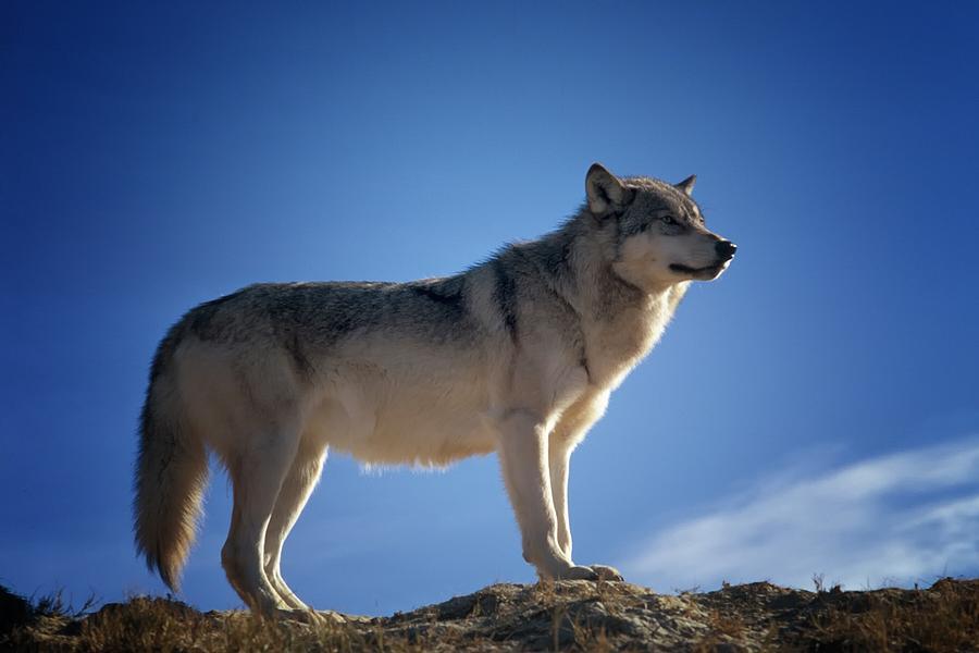 Wolf Digital Art - Wolf by Dorothy Binder