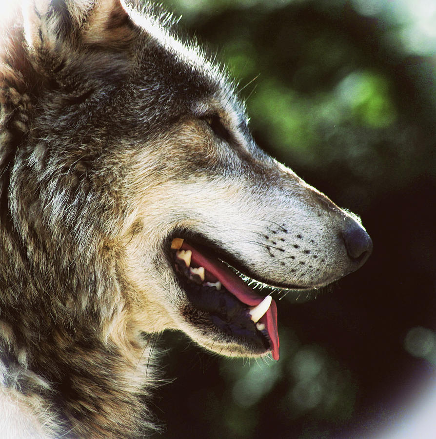 Wolf Photograph - Wolf Portrait by Martin Newman
