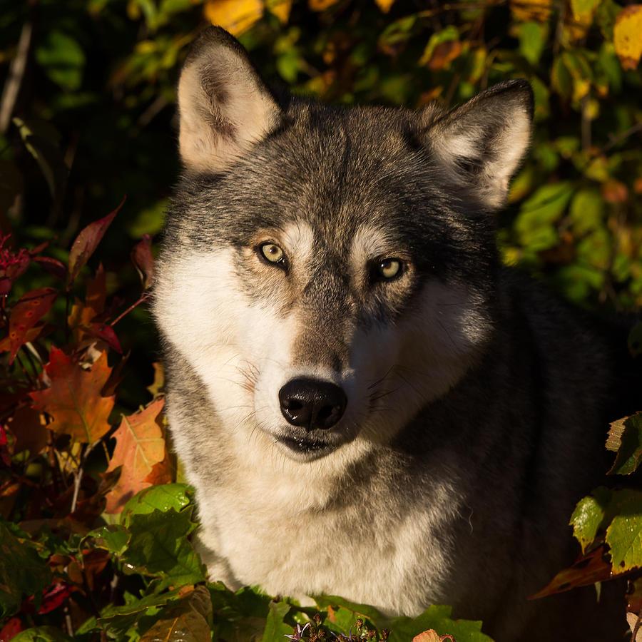 Wolf Photograph - Wolf Portrait by Michelle Lalancette