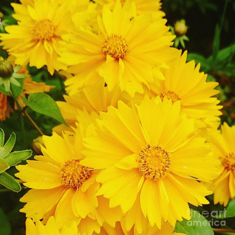 Yellow Photograph - Yellow Flowers  by Sobajan Tellfortunes