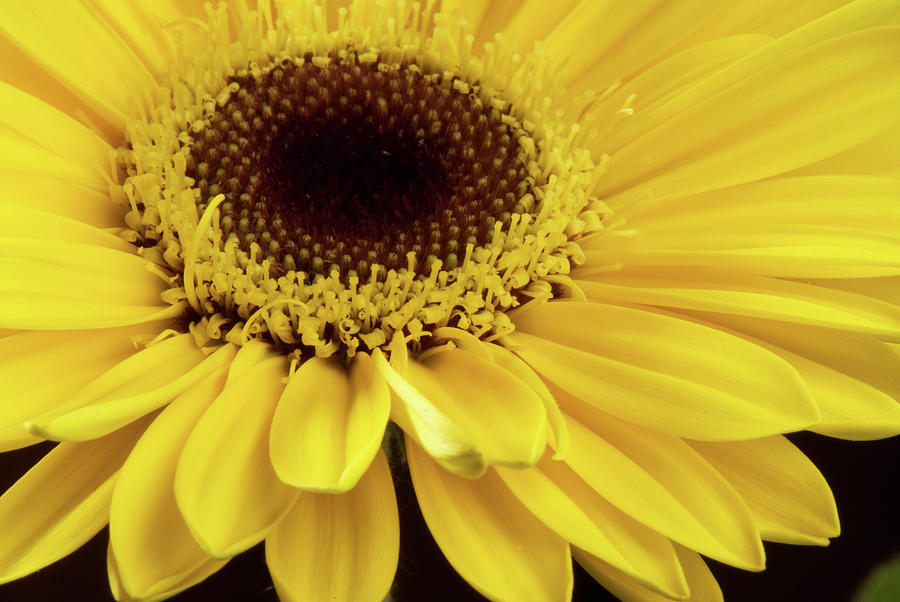 Yellow Gerbera Daisy Photograph by JT Lewis
