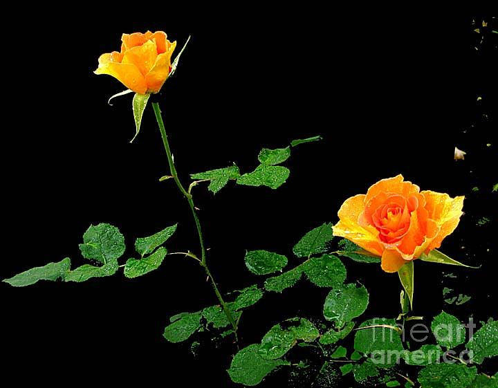 Flowers Photograph - 2 Yellow Roses by Daniel Koral