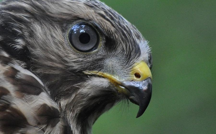 Raptors Photograph - Young Red-shouldered Hawk by Monteen  McCord