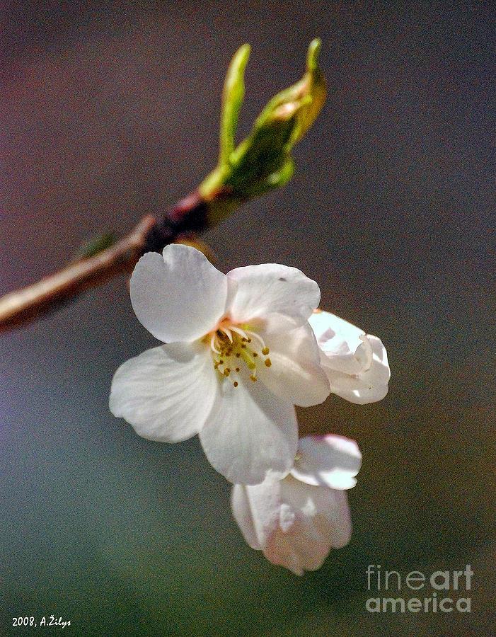 White Flower Photograph - 2008 Springtime  6365  by Arvydas Zilys