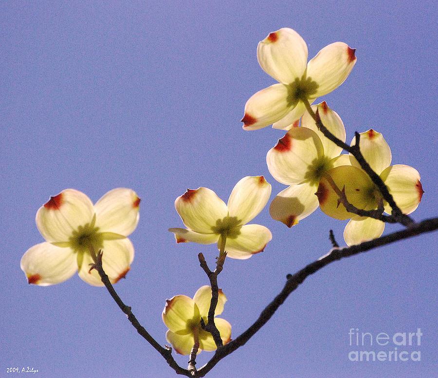 Yellow Photograph - 2009 Springtime  6399  by Arvydas Zilys