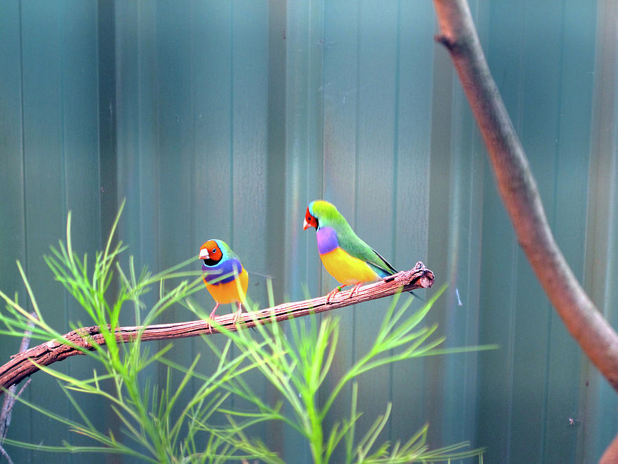 Aussie Rainbow Lovebirds by Kathy Corday