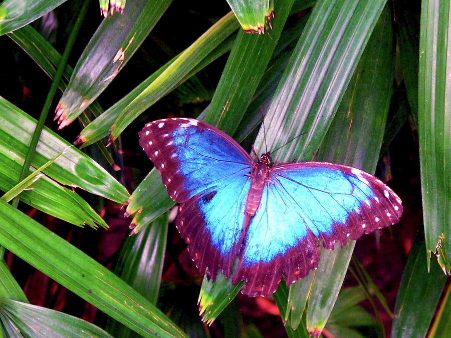 Blue Butterfly by Kathy Corday