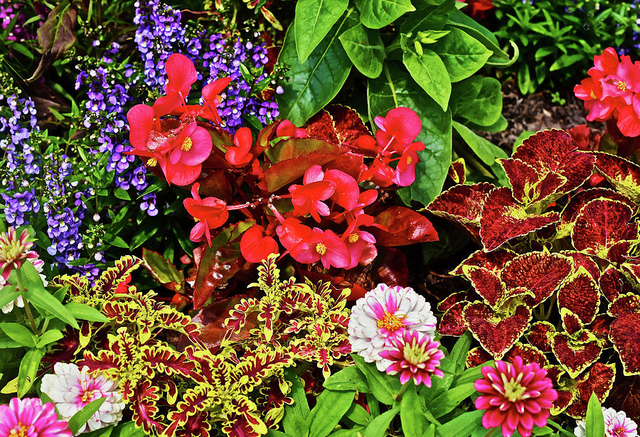 2017 Mid July At The Gardens Begonia And Coleus Photograph By