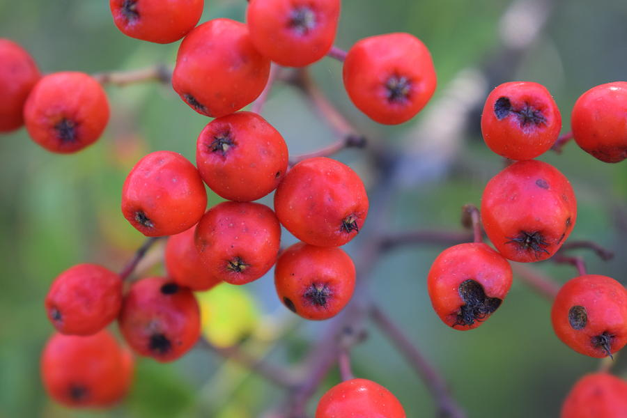 Red Berries Photograph - Photo 15 2017 by Thomas Olsen
