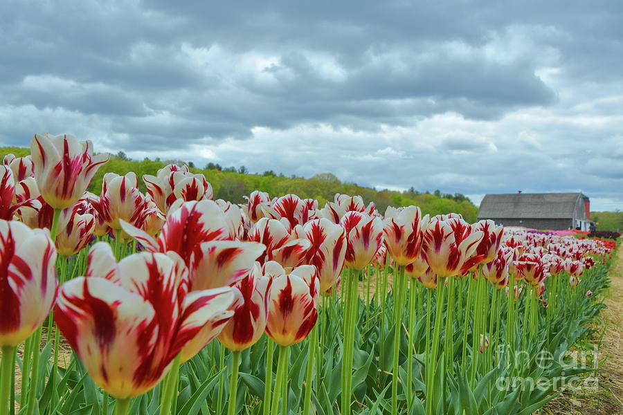 2017 Wicked Awesome Tulips by Tammie Miller
