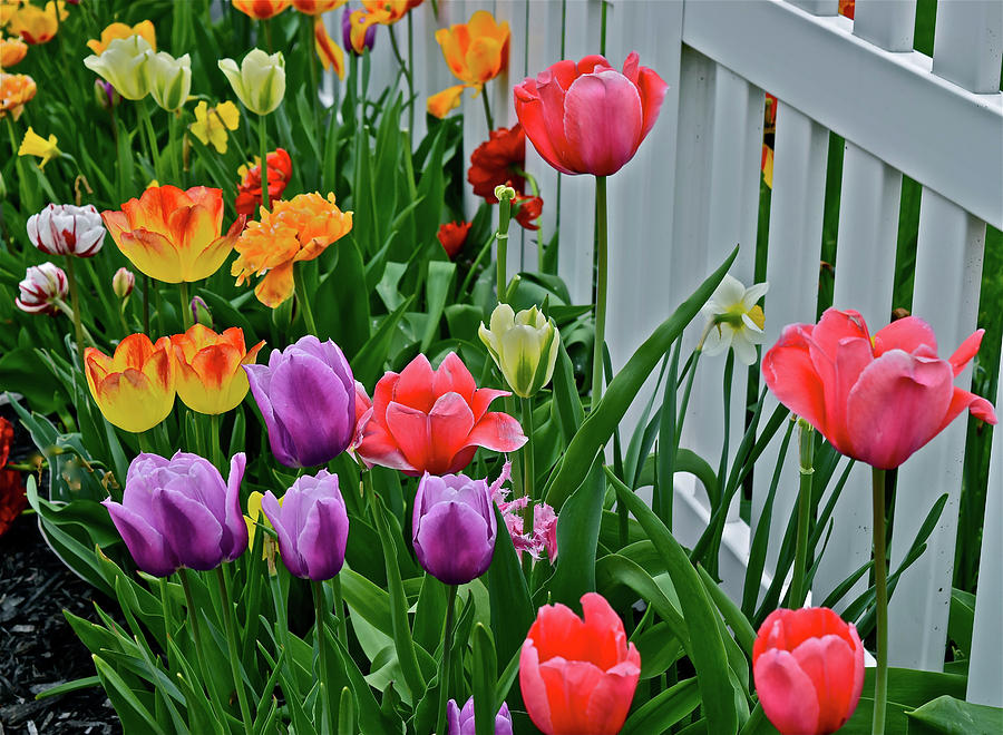 2018 Acewood Tulips Against the White Fence 2 by Janis Nussbaum Senungetuk