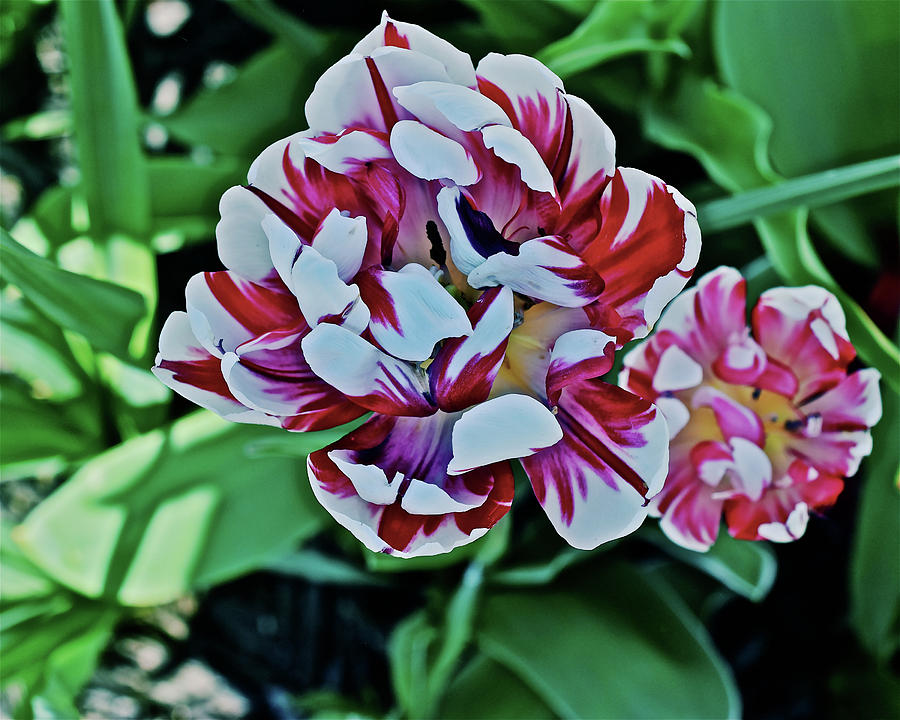 2018 Acewood Tulips Red and White 1 by Janis Nussbaum Senungetuk